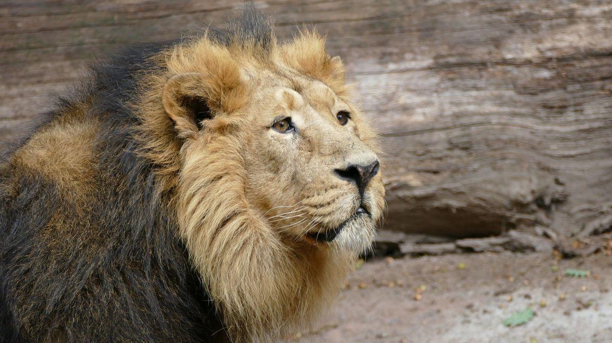 Das Löwenmännchen Subali in seinemGehege