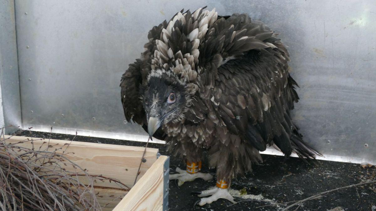 Einer der beiden Jungvögel sitzt in der Voliere.