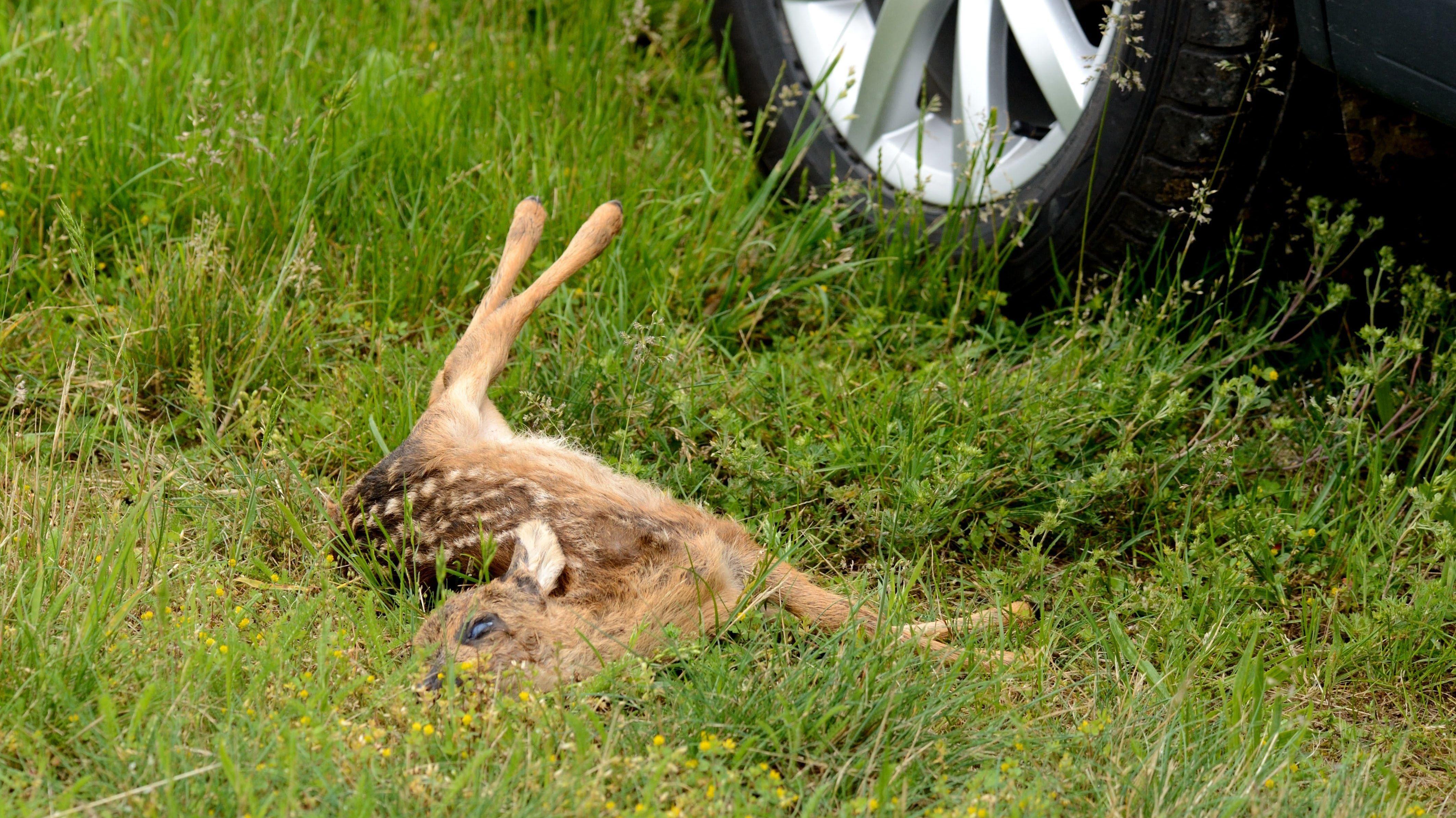 Die Zahl der Wildunfälle in Bayern ist in den letzten zehn Jahren um mehr als 30 Prozent gestiegen. Besonders häufig sind Unfälle mit Rehen.