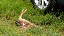 Die Zahl der Wildunfälle in Bayern ist in den letzten zehn Jahren um mehr als 30 Prozent gestiegen. Besonders häufig sind Unfälle mit Rehen.  | Bild:picture alliance