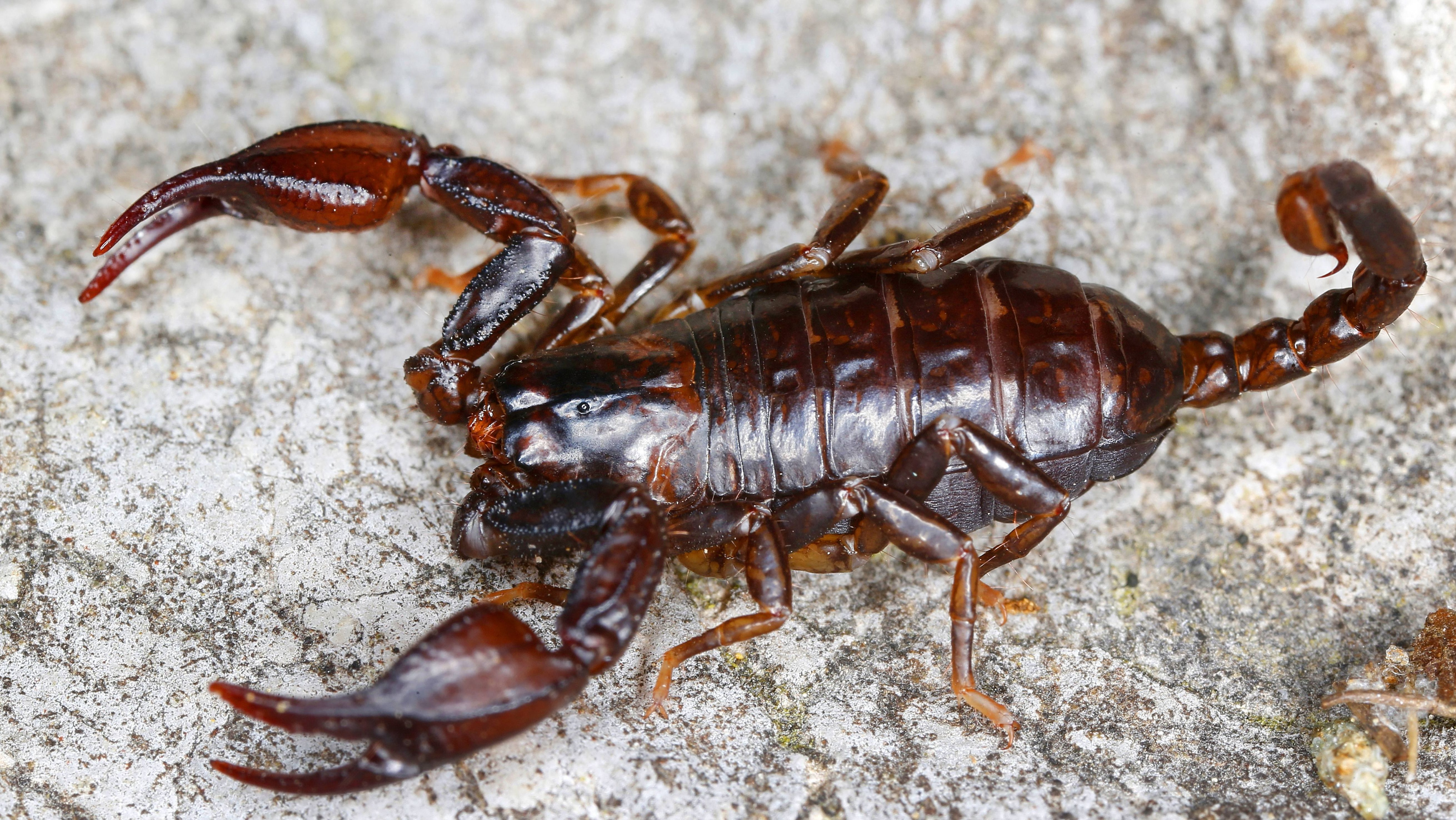 Sogenannter Alpenskorpion (Euscorpius germanus)