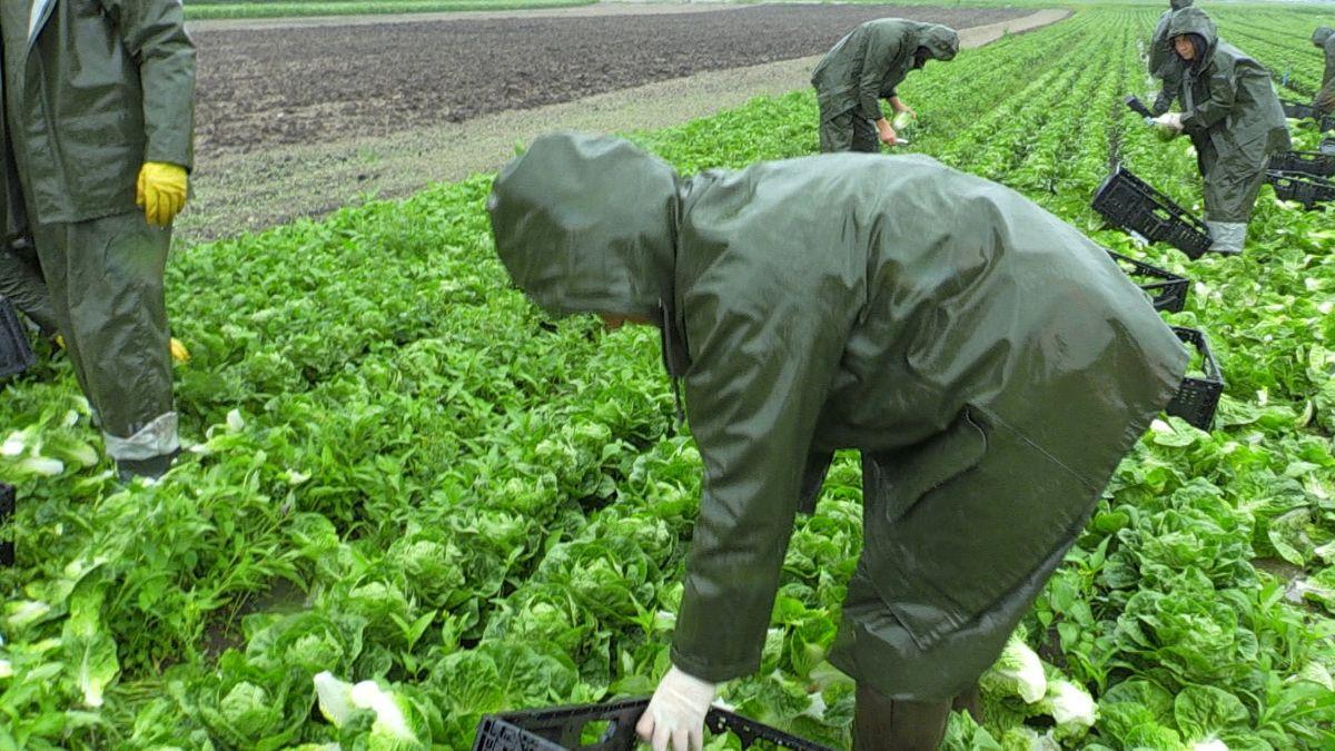 Erntehelfer mit Regenanzügen auf einem Salatfeld