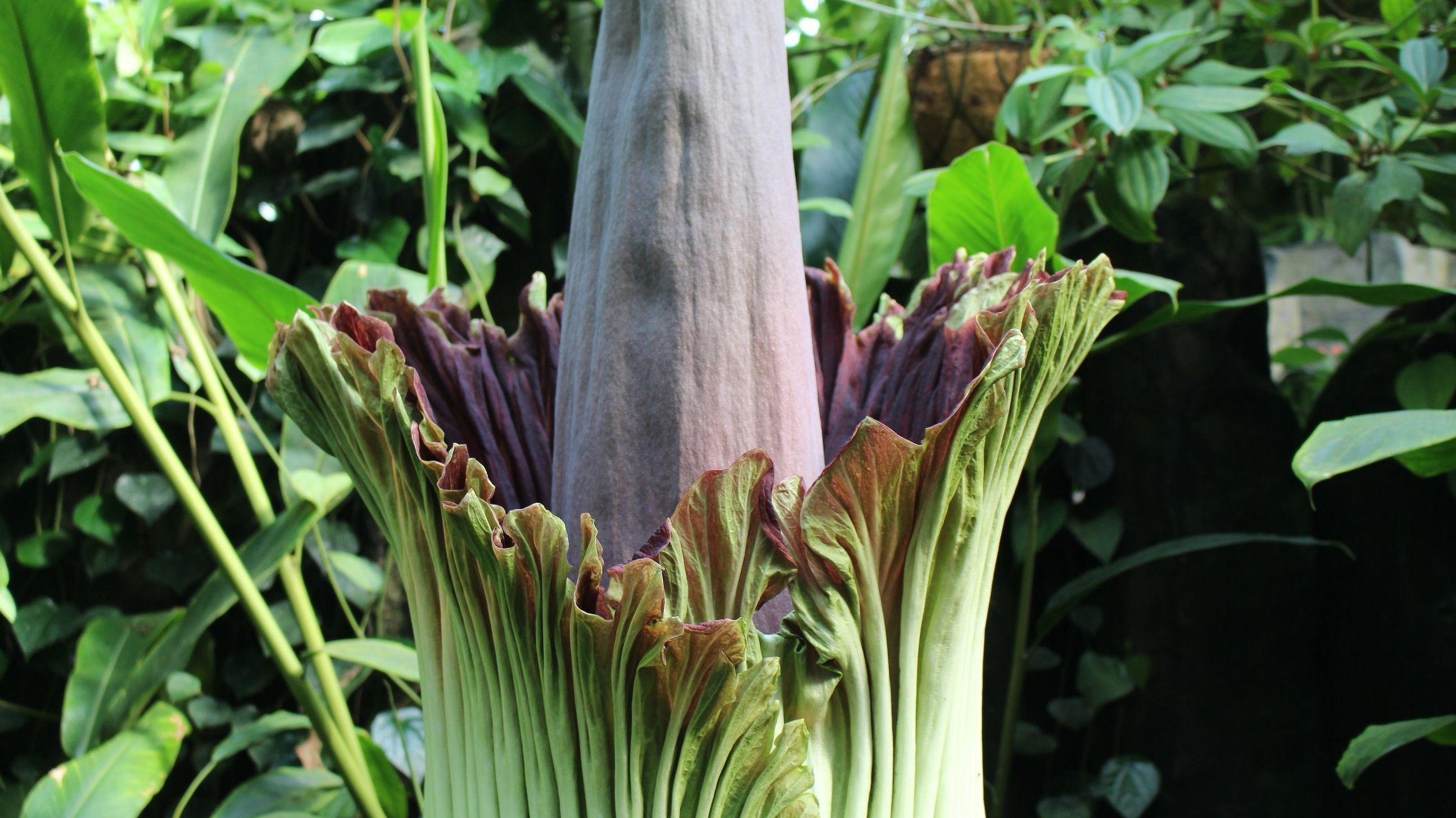 Die Titanwurz im ökologisch-botanischen Garten Bayreuth beginnt zu blühen
