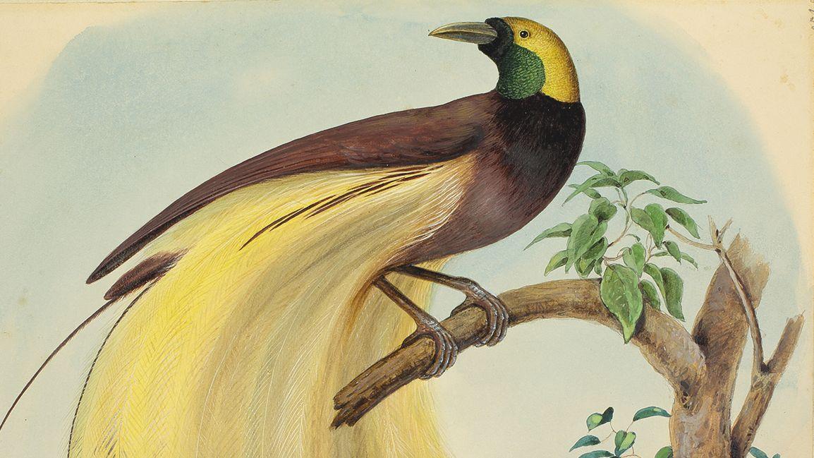 Paradiesvogel von Johann Friedrich Leu