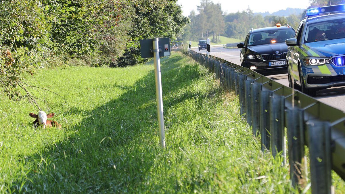 Kalb im Gras an Autobahn mit Polizeiwagen auf Fahrbahn