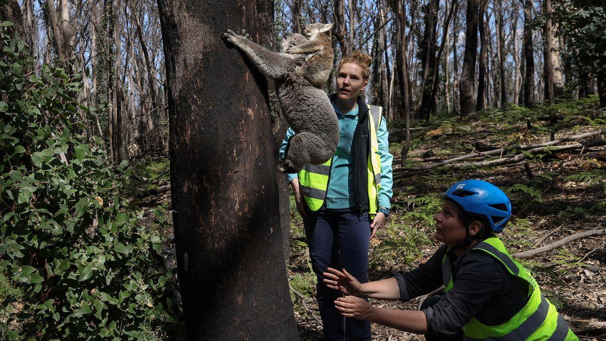 """Zwei Wissenschaftlerinnen der  NGO """"Science for Wildlife"""" entlassen im September 2020 in den australischen Blue Mountains ein Koalaweibchen mit ihrem Jungen in die Freiheit , nachdem sie ihr im Rahmen eines Koalaprojekts ein Sendehalsband angelegt haben."""