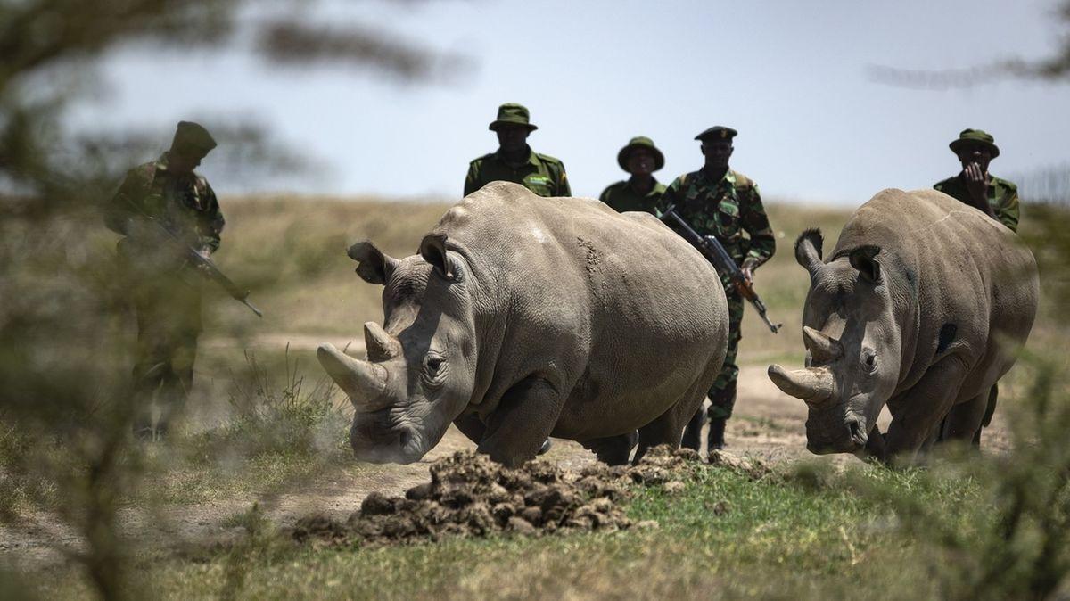 Die Nördlichen Breitmaulnashorn-Weibchen Fatu (r) und Najin in Kenia sind die letzten beiden Nashörner ihrer Unterart.
