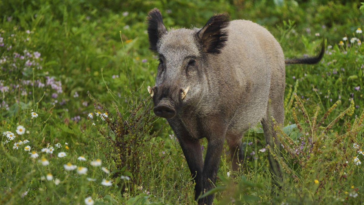 """Nach Unfall: Taxler beschreibt Wildschwein als """"großen Hamster"""""""