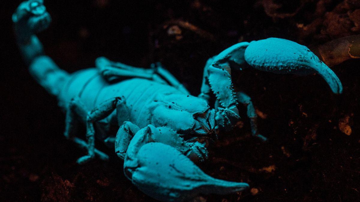 Skorpion (Pandinus Imperator) unter UV-Licht