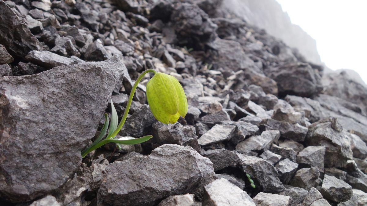 Eine klassisch grünliche Blüte der Fritillaria delavayi im Schottgestein bietet wenig Tarnung. Da die Pflanze in der chinesischen Medizin beliebt ist, wird sie so leicht Opfer humaner Ernte.