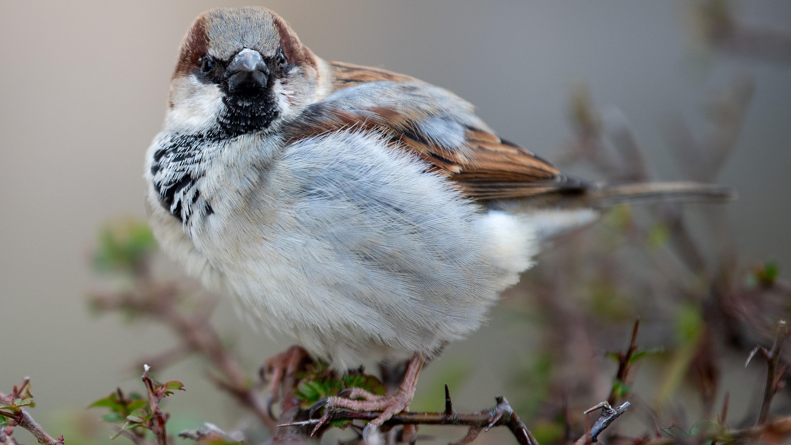 Haussperlinge bzw. Spatzen galten viele Jahre als bedroht. 2019 sind sie die Vogelart, die laut NABU und LBV am häufigsten vorkommt.