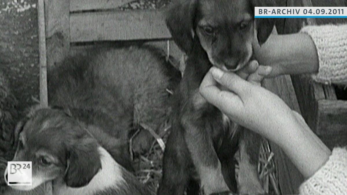 Zwei Hundewelpen, rechtes Welpen wird von zwei Händen am Mund getreichelt