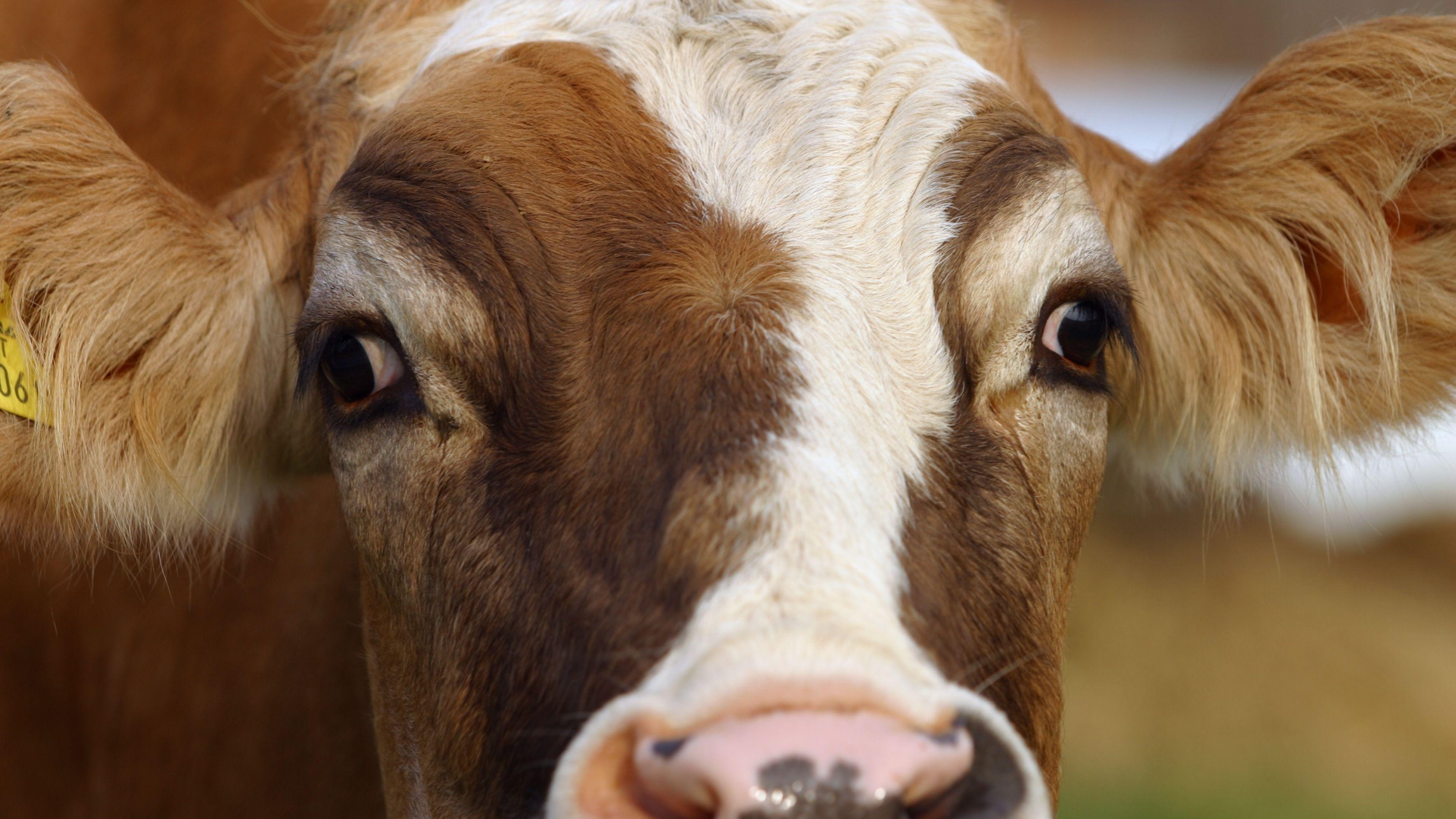 Das Gesicht einer jungen Kuh (Symbolbild)