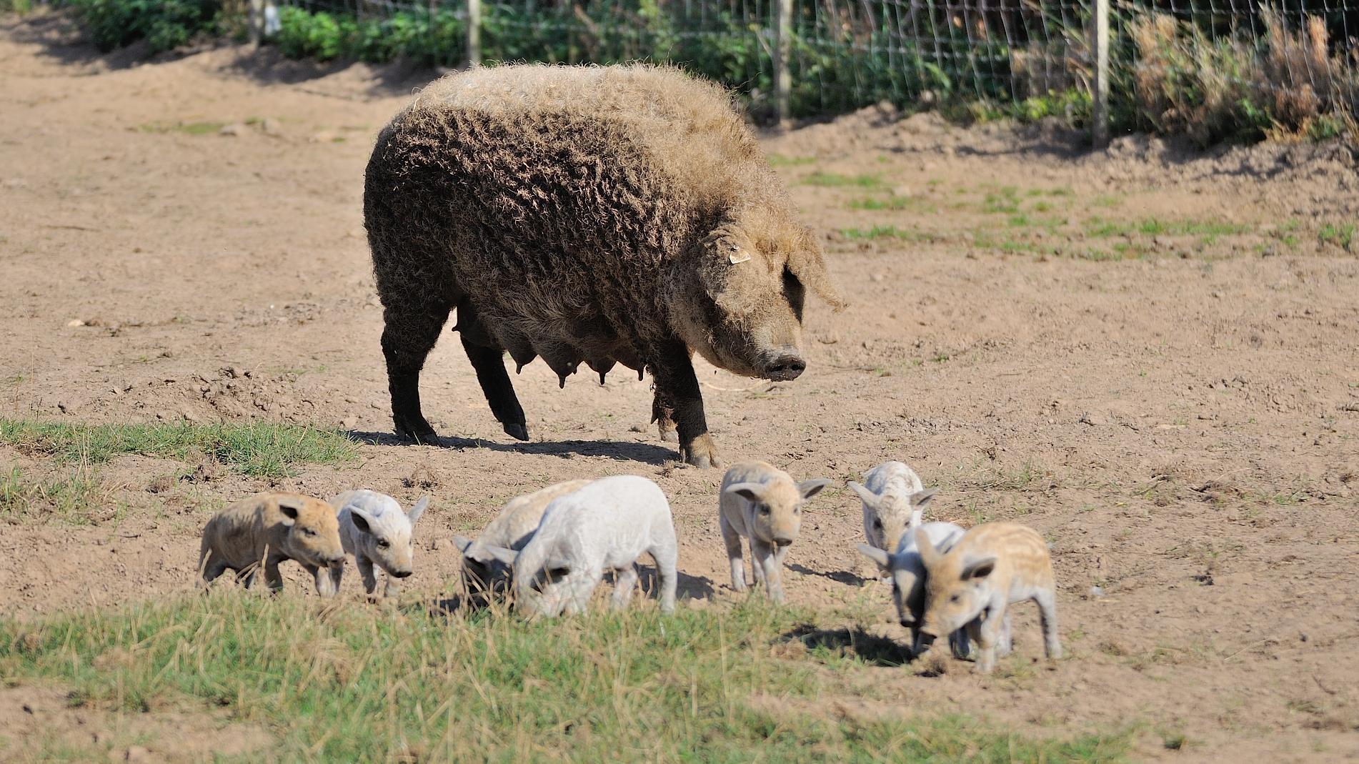 Blondes Wollschwein mit gestreiften Ferkeln, die Gefährdete Nutztierrasse 2019