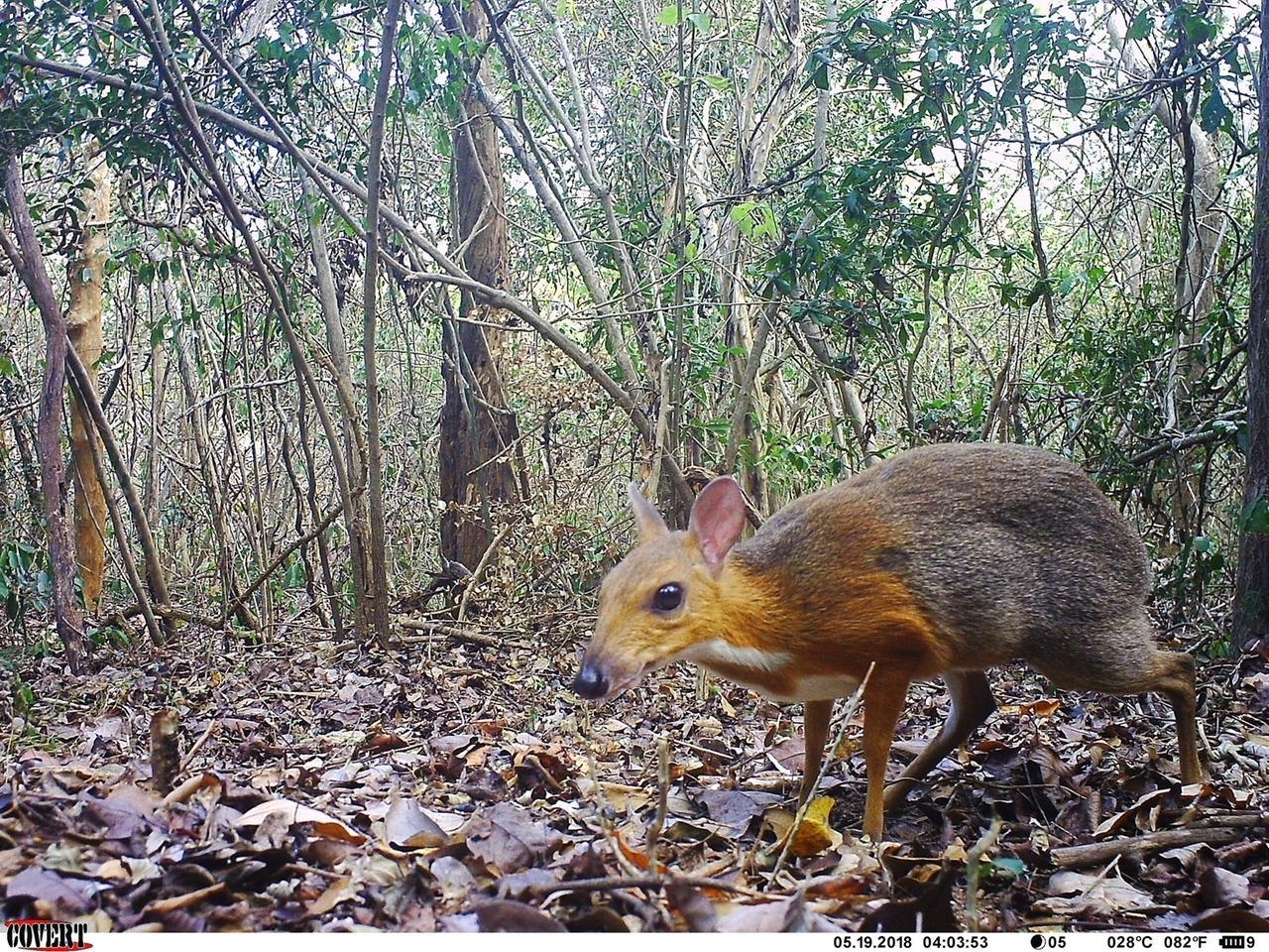 Jahrzehntelang verschwunden: Hirschferkel-Art in Vietnam wiederentdeckt