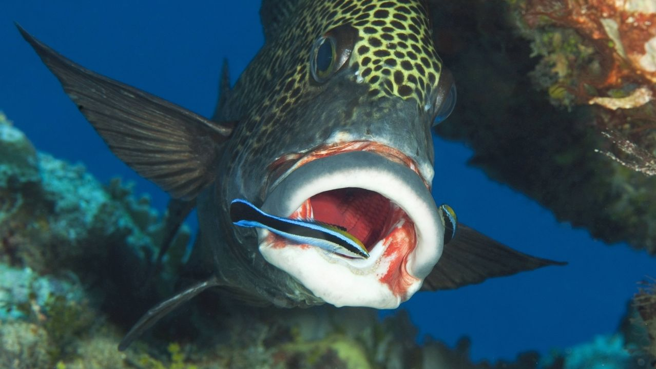 Harlekin-Suesslippe mit Putzerfisch: Zur Kommunikation nutzen Fische auch Berührungen untereinander.