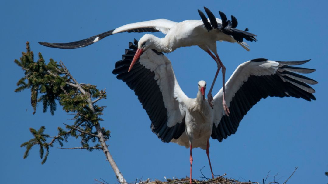 Ein Storch verteidigt sein Nest gegen einen Artgenosse (Symbolbild)