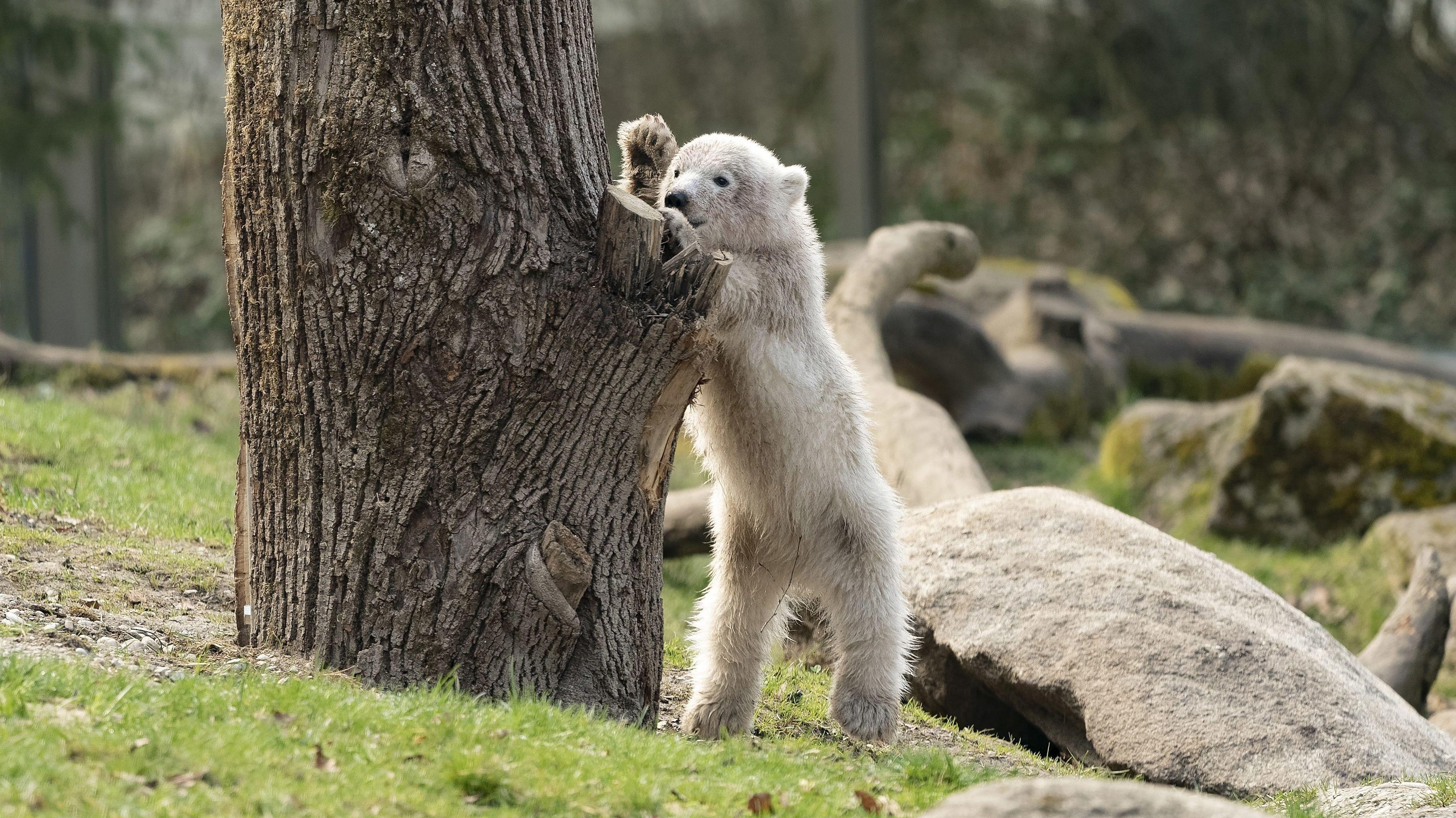 """Eisbärin """"Quintana"""" wurde am 21. November 2016 im Tierpark Hellabrunn geboren"""