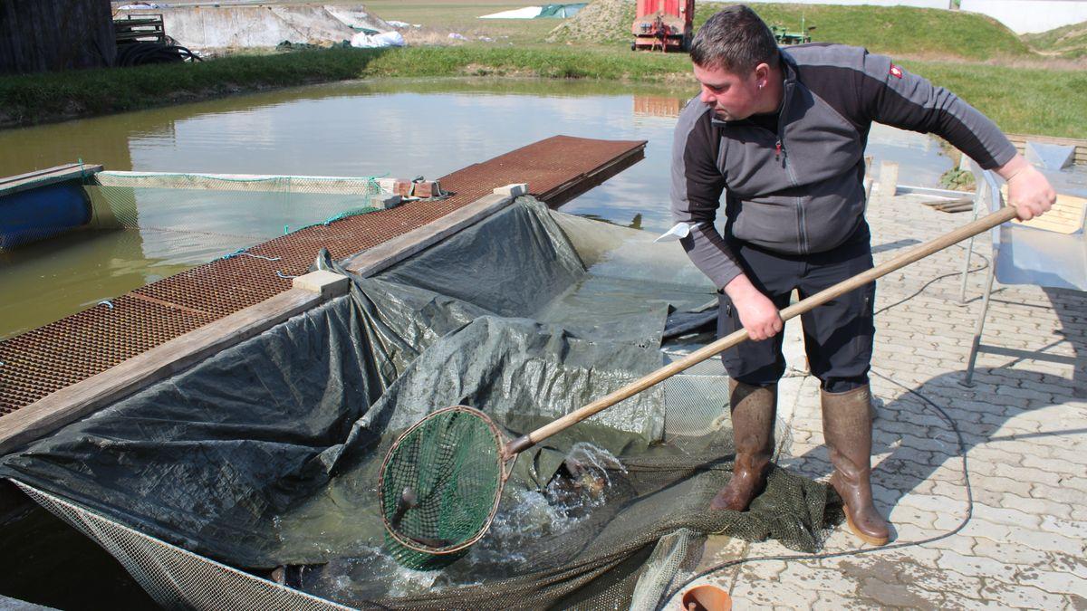 Ein Mann fischt mit einem Kescher einen Karpfen aus einem Becken.