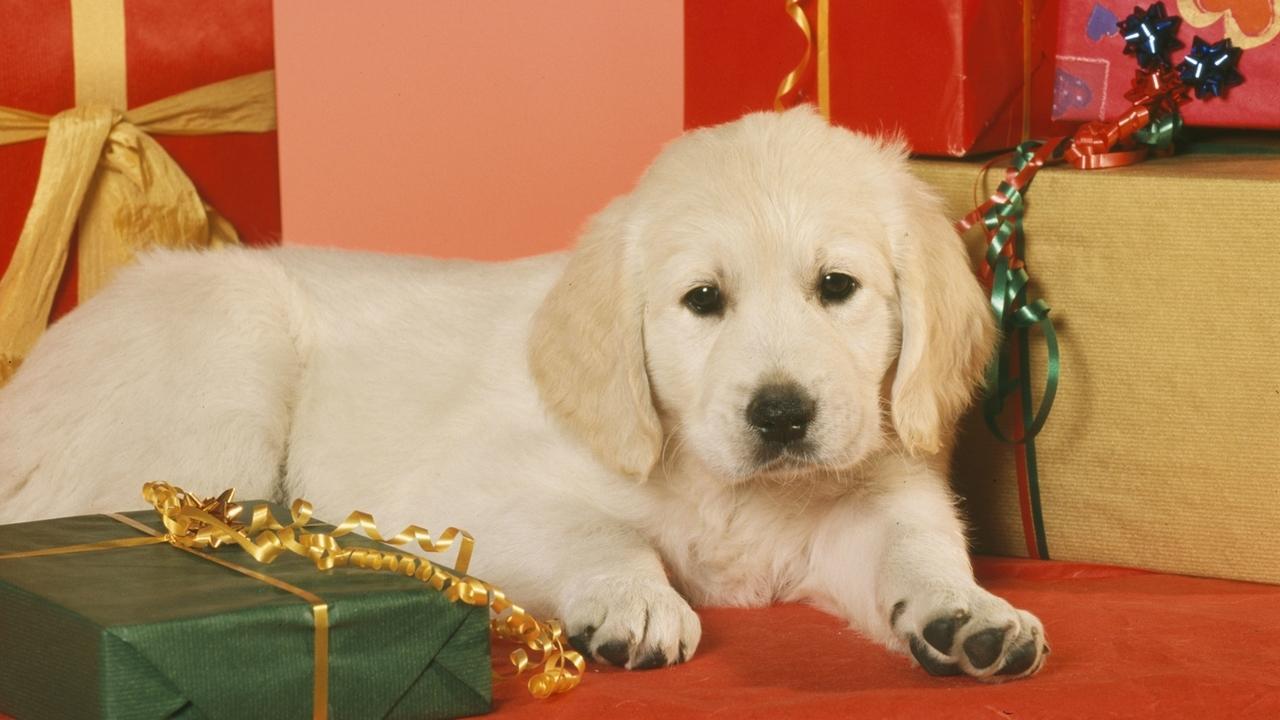 Ein Hundewelpe liegt zwischen Geschenken.