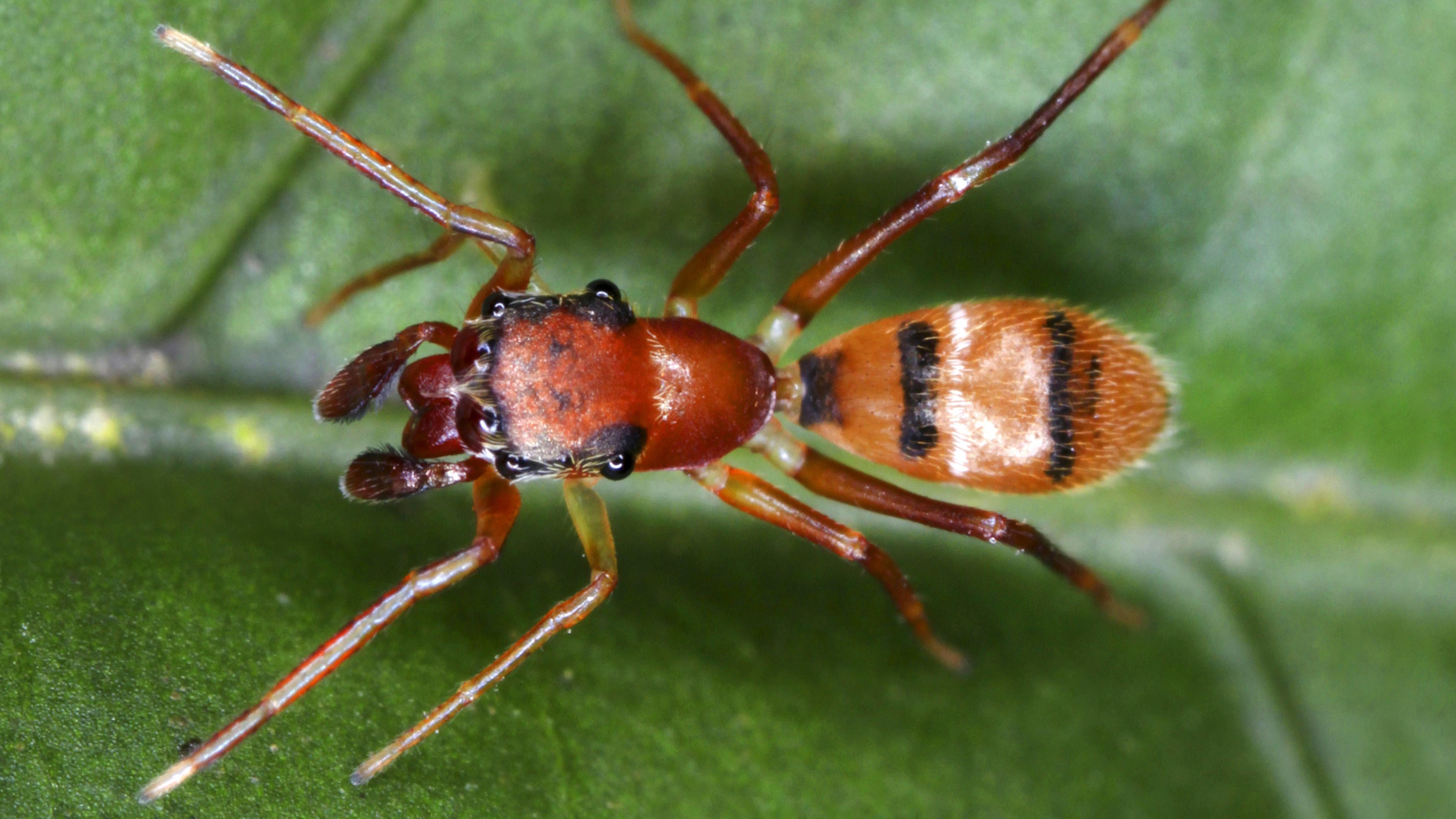 Die Ameisenspringspinne erlegt ihre Beute mit ihren großen Kieferklauen.
