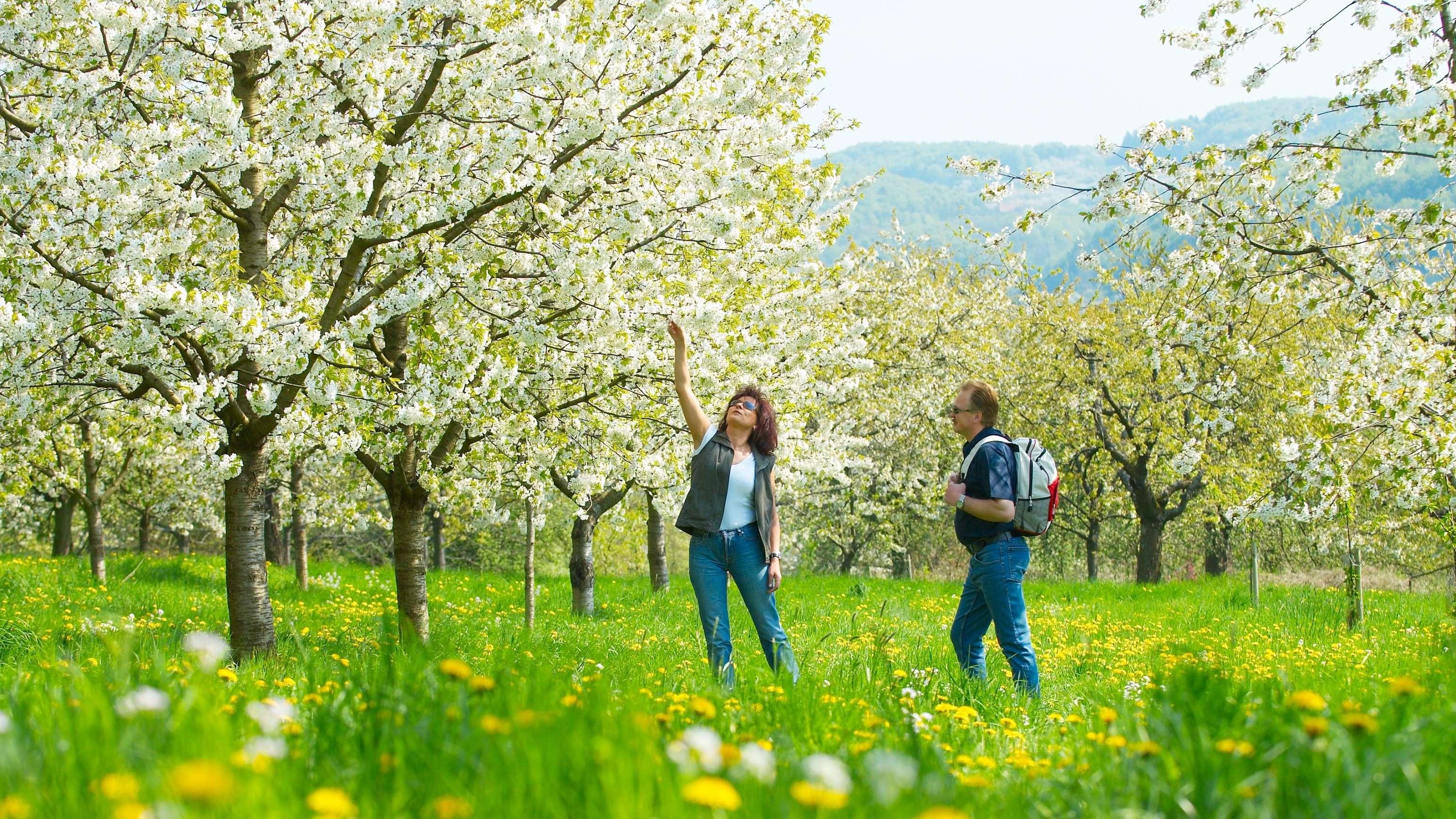 Kirschbäume mit weißen Blüten auf einer grünen Wiese in der Fränkischen Schweiz, zwei Wanderer bewundern die Blüten.