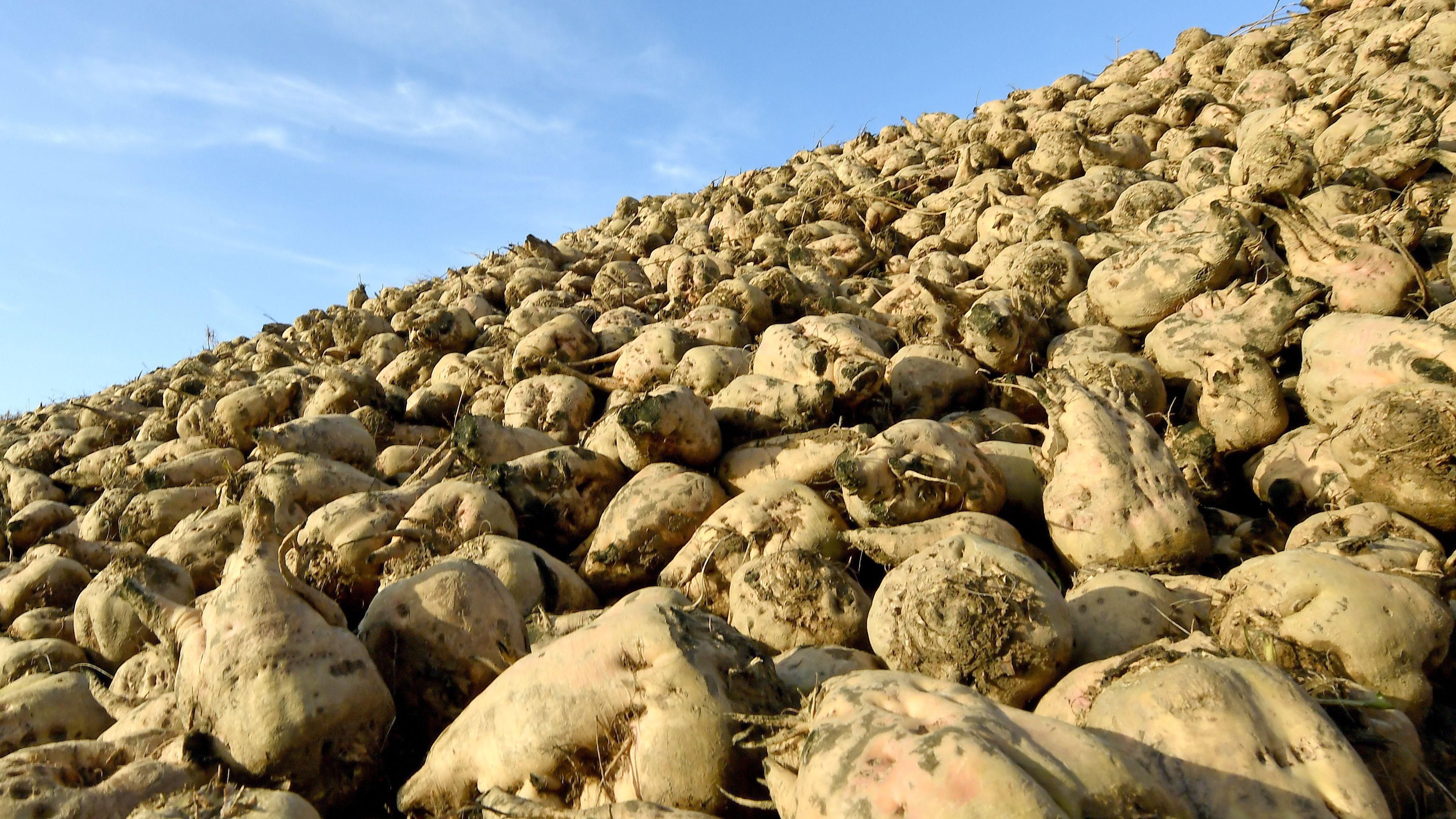 Zuckerrüben liegen an einem Feldrand nahe von Poggenhagen im Landkreis Schaumburg.