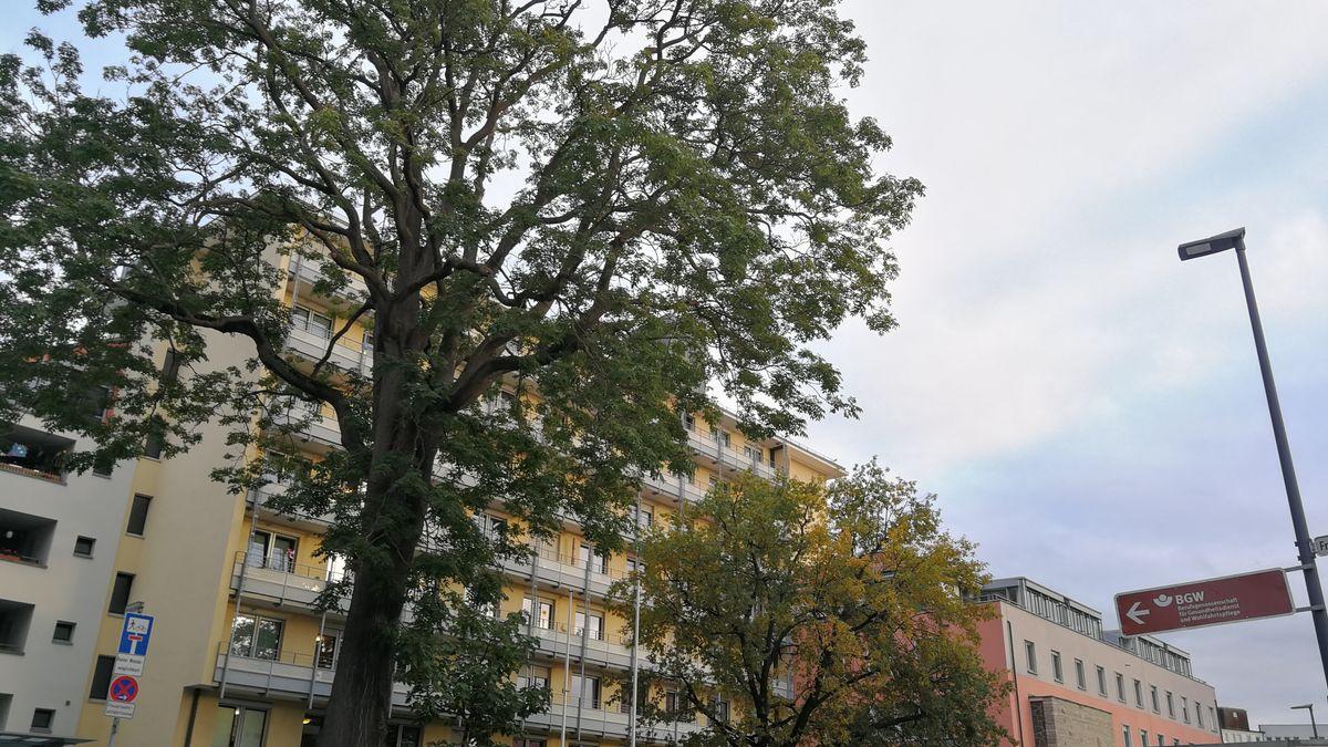 Der Götterbaum vor dem Würzburger Juliusspital