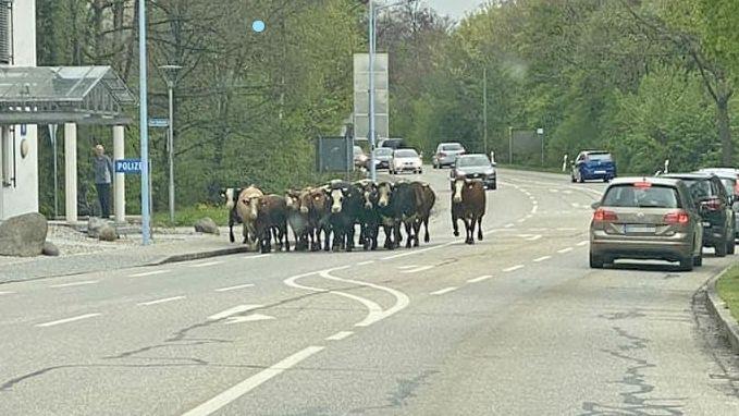 Kühe laufen durch Burghausen am Polizeigebäude vorbei.