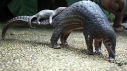 Der Welt-Schuppentier-Tag erinnert daran, dass die Tannenzapfentiere (auch: Pangoline) vom Aussterben bedroht sind. | Bild:picture alliance / AP Photo