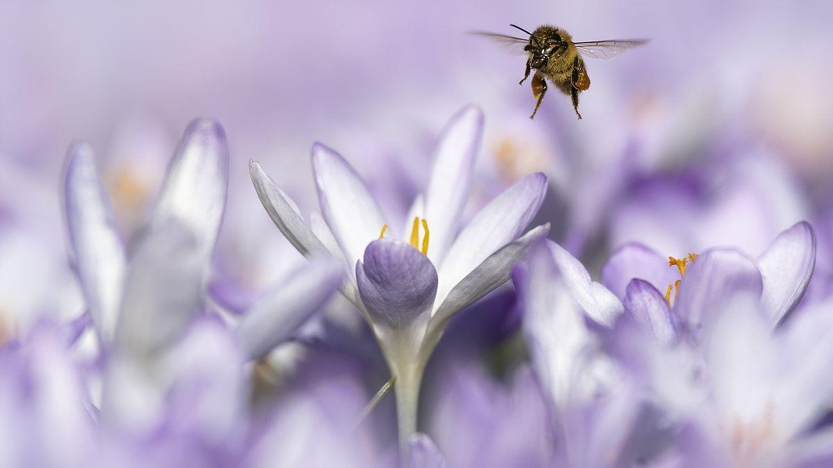 Bienen sind immer seltener in Deutschland zu sehen: Das Insektensterben war auch 2019 wieder Thema in den Wissenschafts-Nachrichten.
