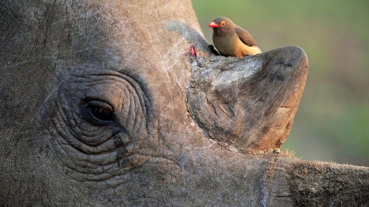 Ein Rotschnabel-Madenhacker sitzt an einer kleinen Wunde auf einem Nashorn.