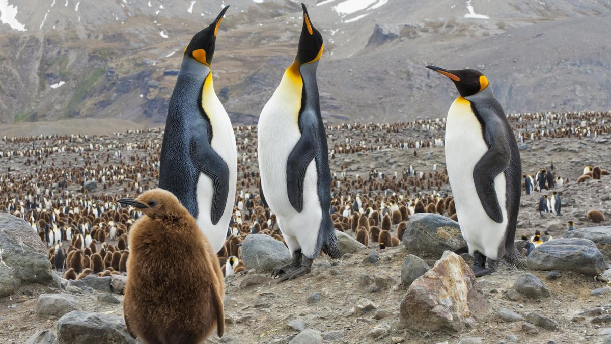 Am 20. Januar ist Ehrentag der Pinguine. Königspinguine (Aptenodytes patagonicus) und Küken mit Brutkolonie, St. Andrews Bay, South Georgia, Südgeorgien