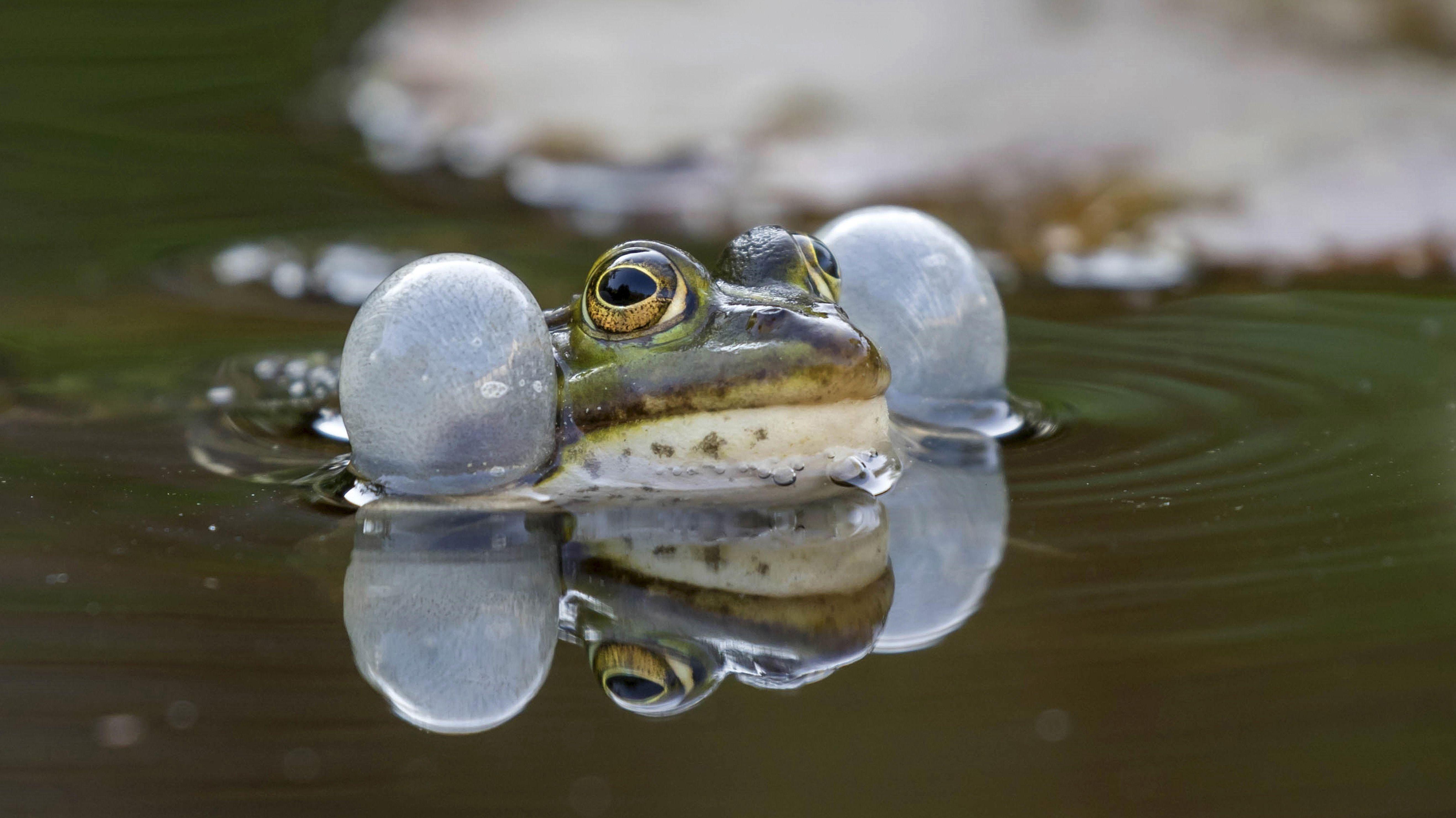 Quakendes Wasserfrosch-Männchen im Teich