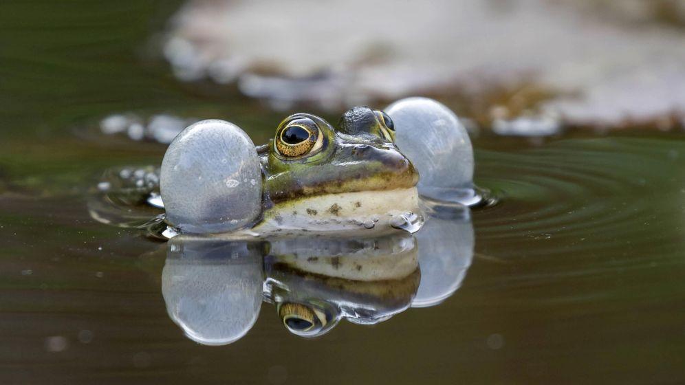 Quakendes Wasserfrosch-Männchen im Teich | Bild:picture alliance / blickwinkel/H. Duty