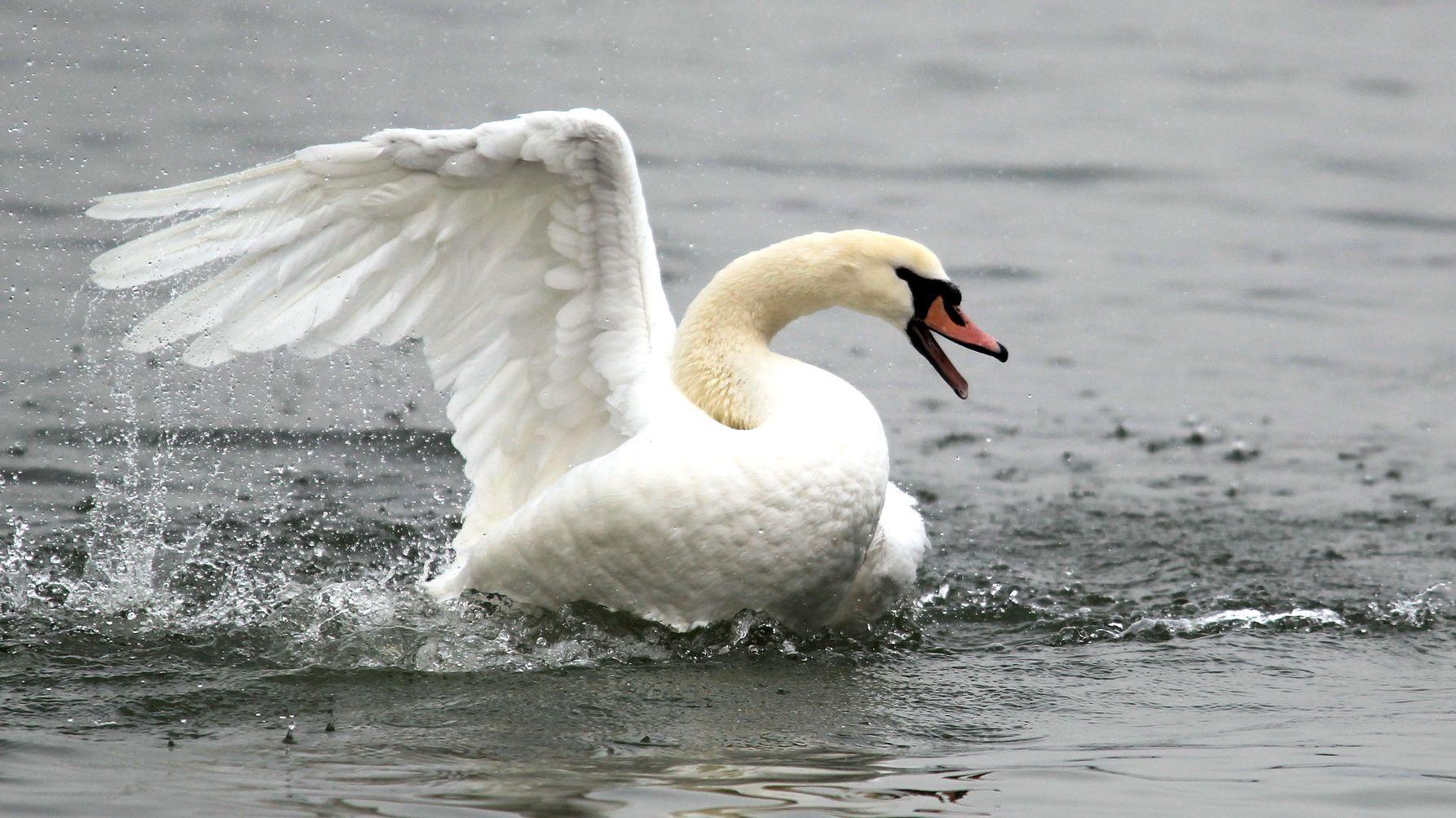 Symbolbild Flügelflatternder Schwan auf See