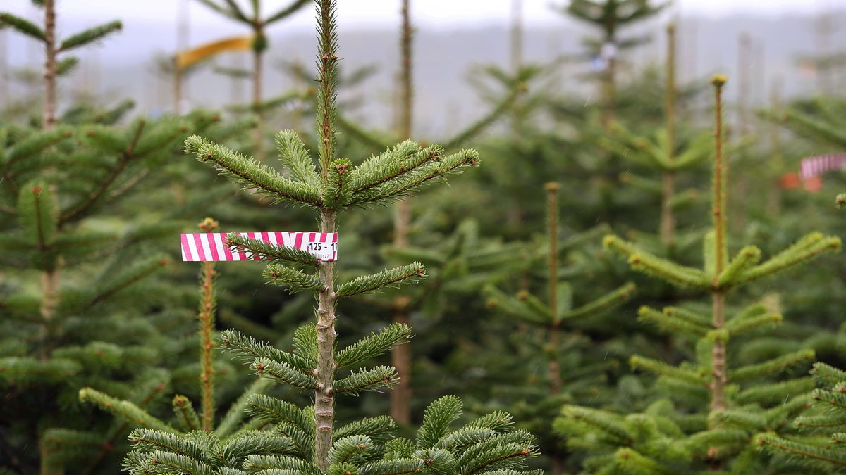 Symbolbild Christbaumplantage