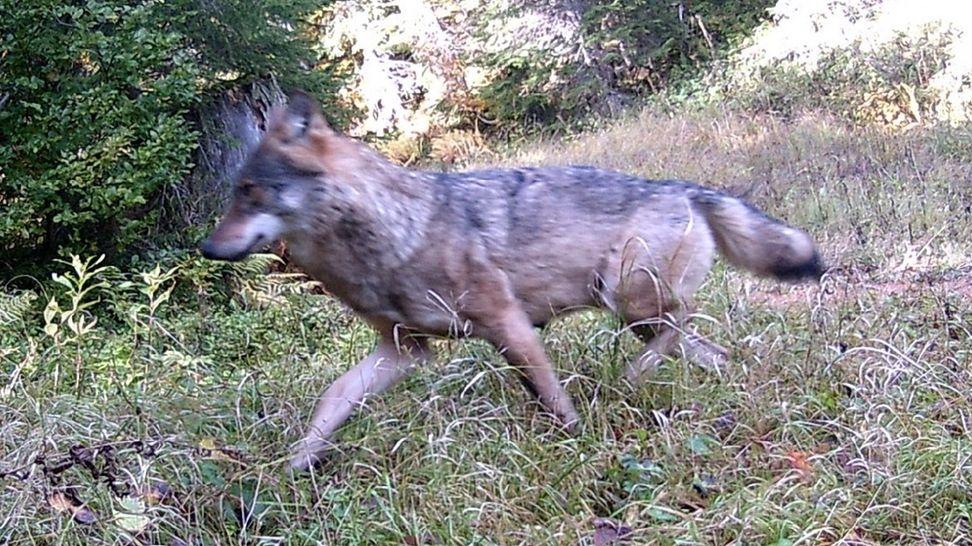 Der Wolf im Oberallgäu
