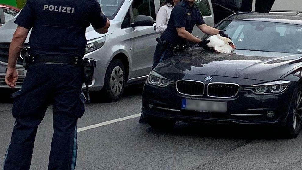 Der erschöpfte Schwan auf der Motorhaube der Fahrerin.