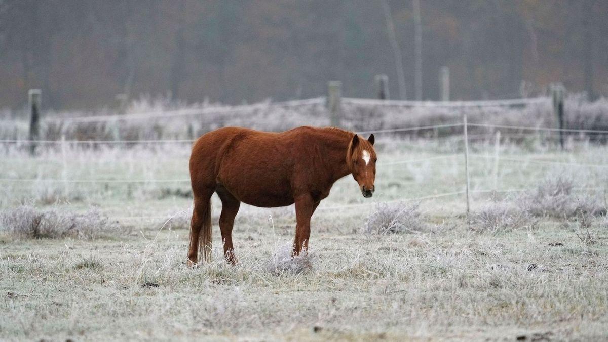 Ein braunes Pferd steht auf einer Pferdekoppel.