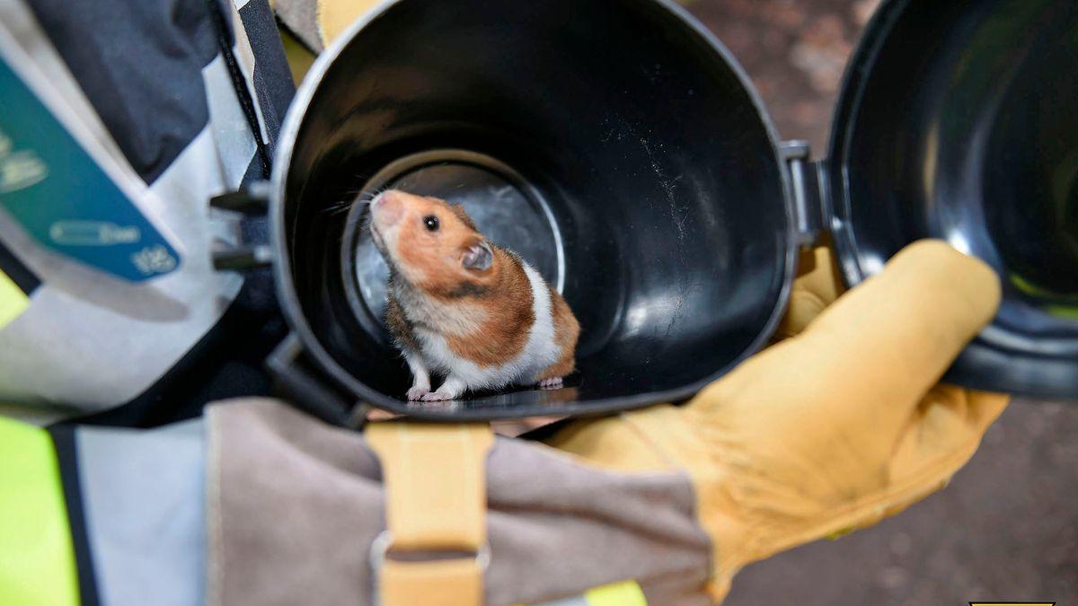 Glücklicher Sendlinger Hamster