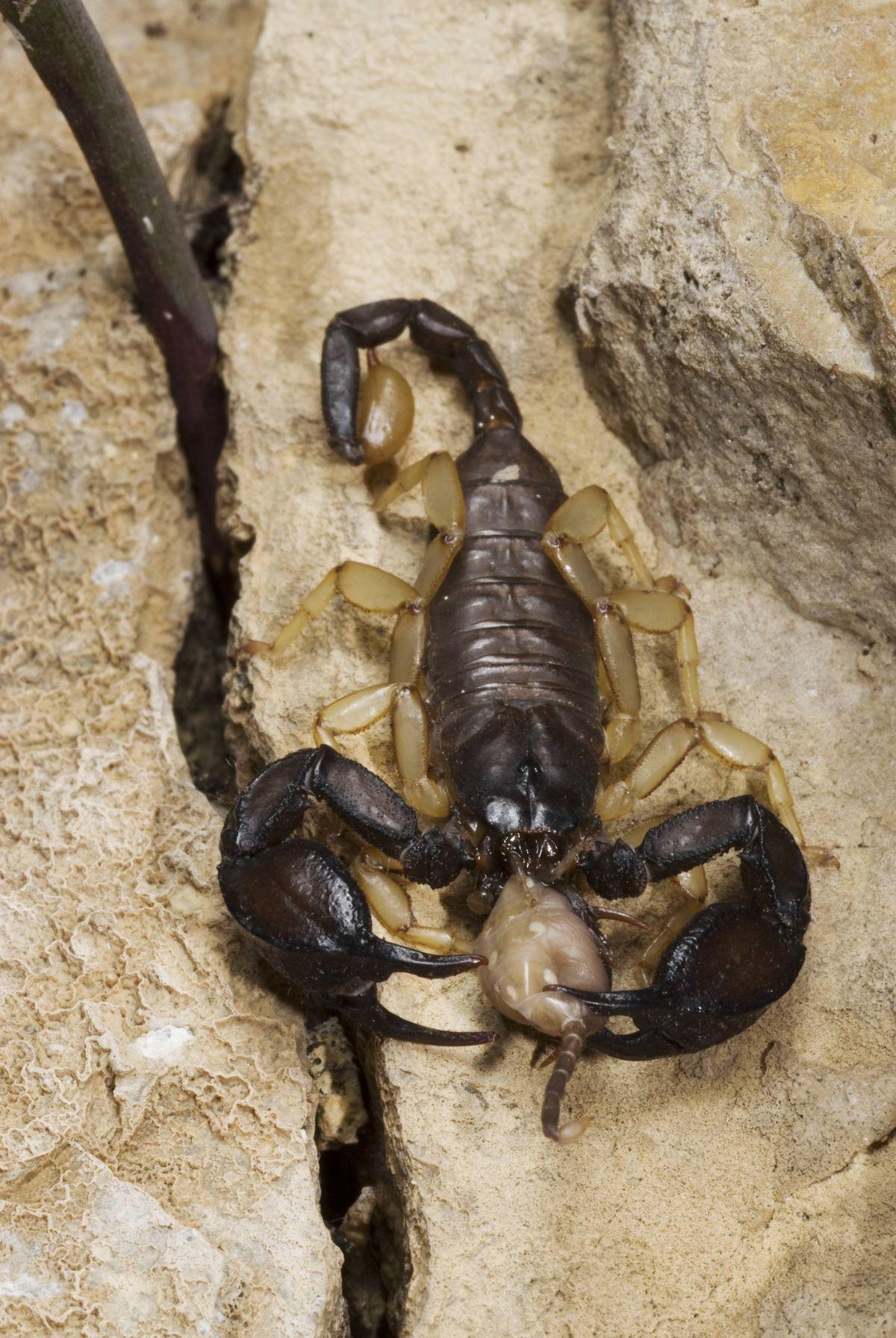 Skorpion (Euscorpius italicus) frisst kleineren Skorpion.