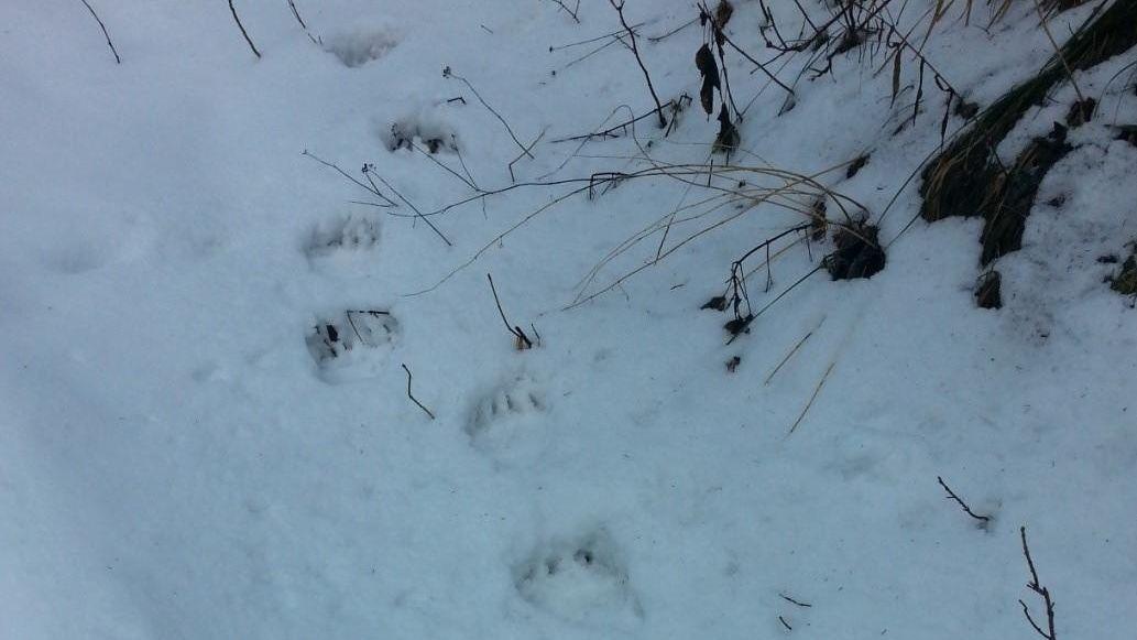 Die Tatzenabdrücke eines Bären im Schnee.