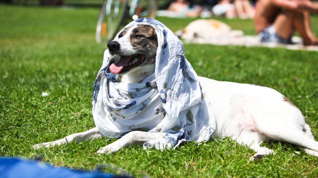 Ein Hund mit einem Tuch als Hitzeschutz auf dem Kopf