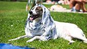 Ein Hund mit einem Tuch als Hitzeschutz auf dem Kopf   Bild:BR/Selvi Duman