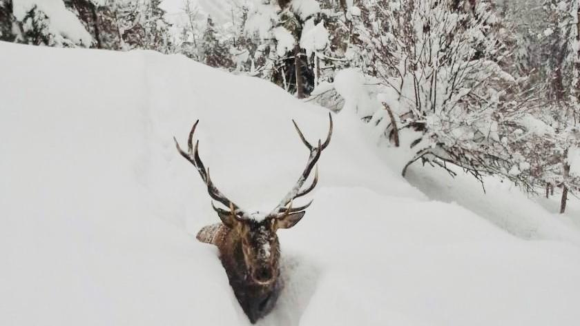 Auf der Reiseralm bei Lenggries: Ein Hirsch steckt im Tiefschnee fest.