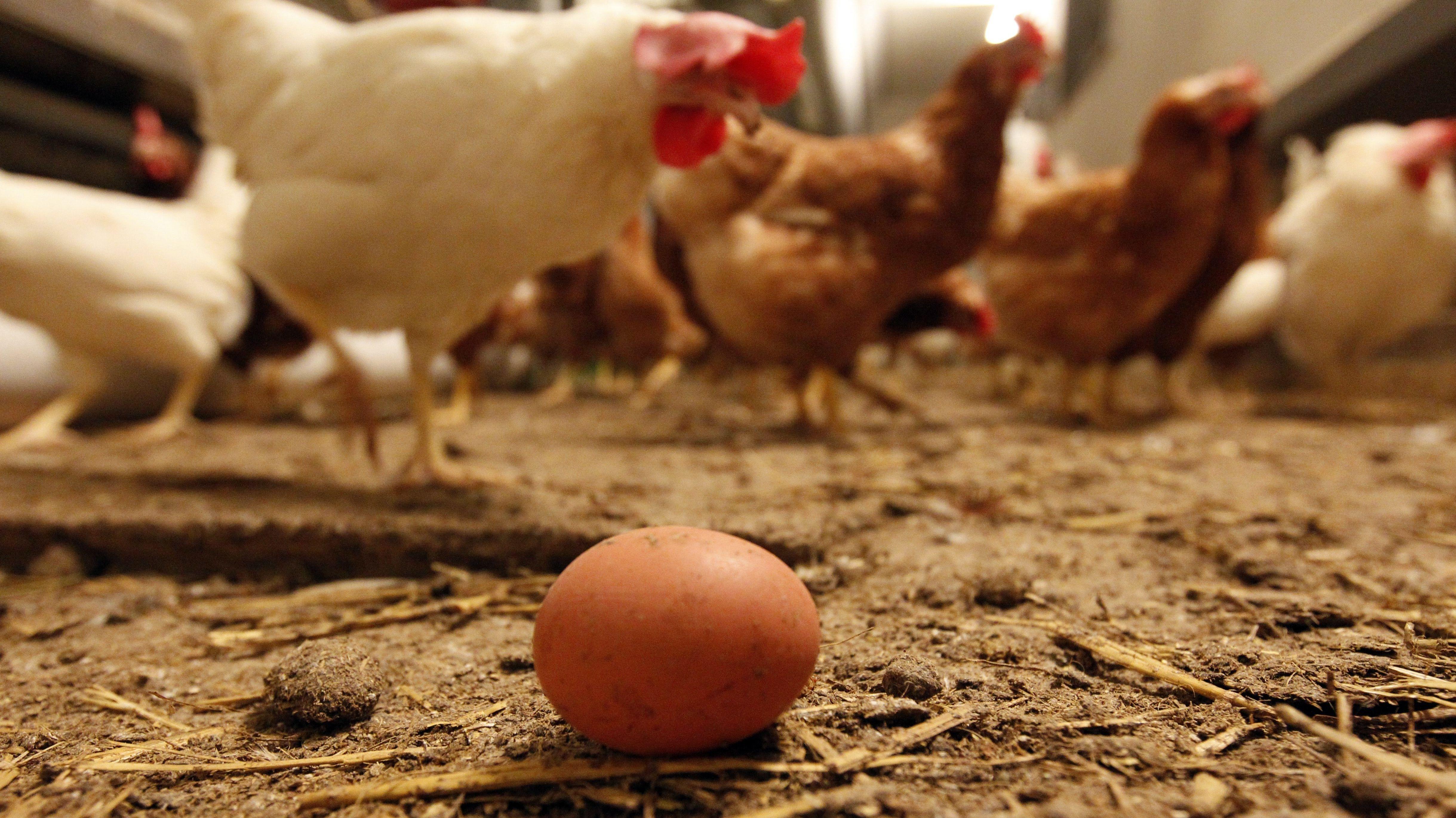 Frisch gelegtes Hühnerei