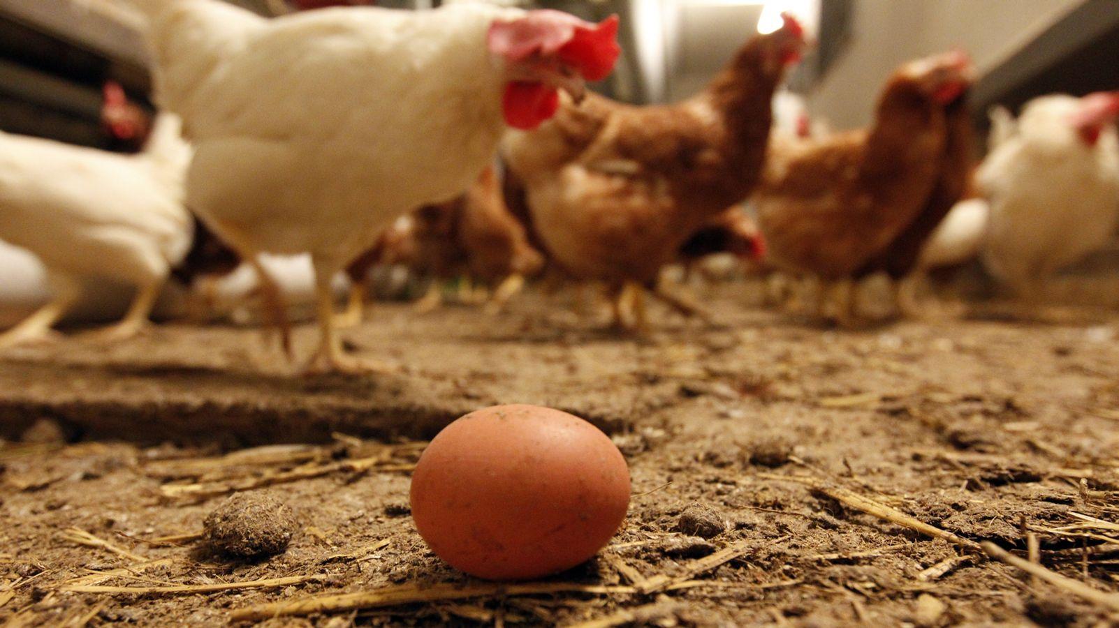 Mehr Vitamin D im Hühnerei durch UV-Licht