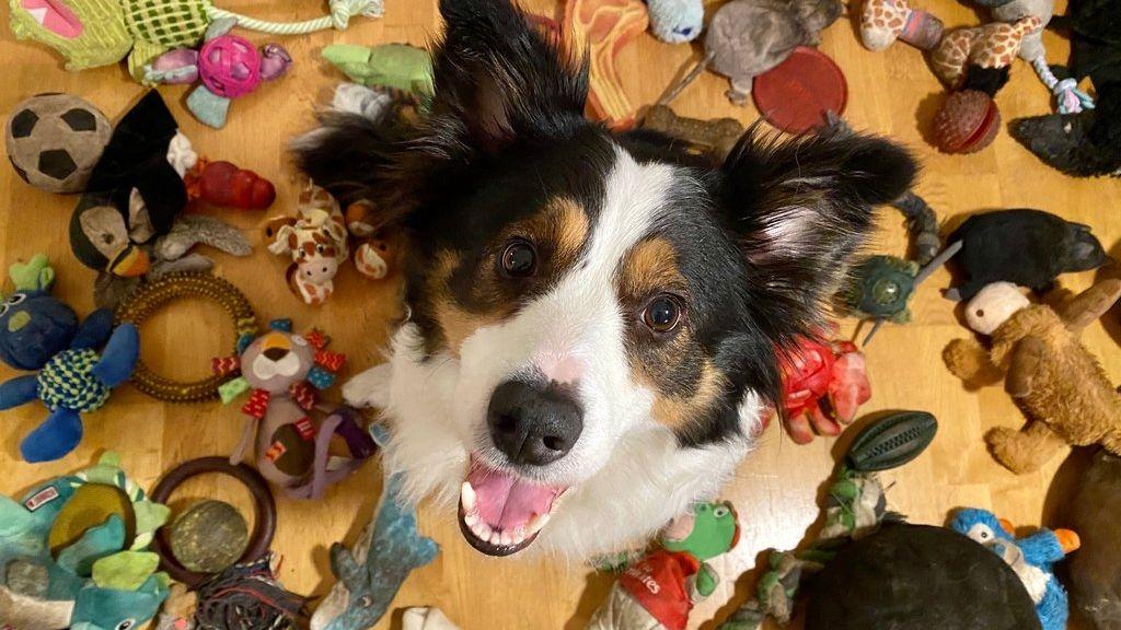 Whisky, der vielleicht klügste Hund der Welt, kann sich die Namen vieler Spielzeuge merken.