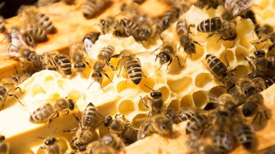 Bienen an Honigwaben